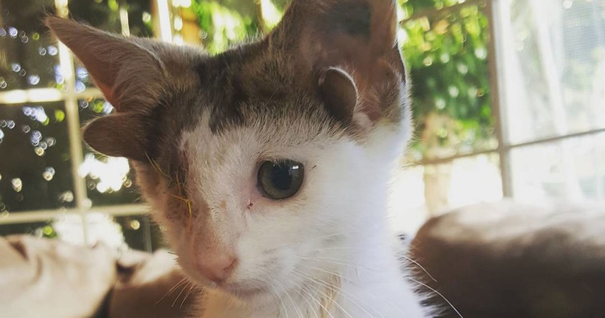 This Rare Kitten Born With Four Ears Called 'Frankenkitten,' Just Wanted A Family To Love Him