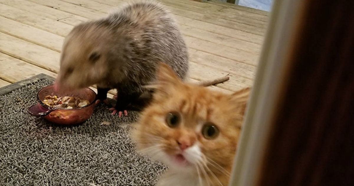 This Cat's Reaction To Possum Stealing Her Food Just Keeps Getting Better And Better With Every Pic